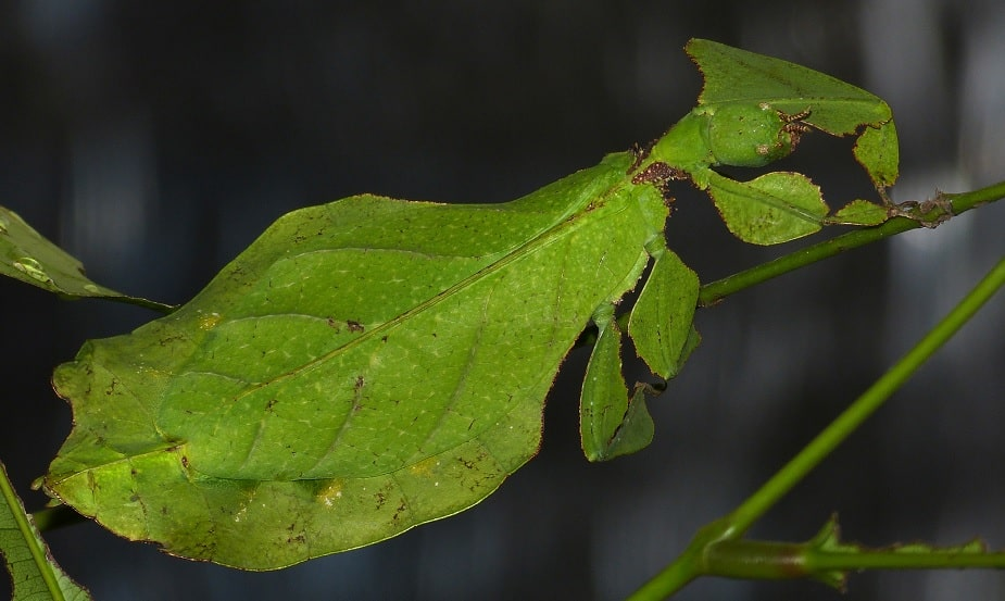 leaf insect mimicry
