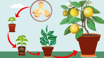 grow your own lemon tree from seed at home